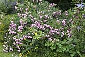 Rosa 'Raubritter' (Strauchrose) mit Lysimachia (Goldfelberich)