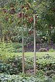 Apfelbaum (Malus), Äste mit schwerem Fruchtbehang mit Latten abgestützt