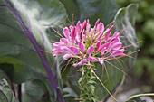 Cleome 'Pink Queen' (Spinnenpflanze) im Gemüsebeet