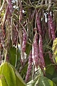 Stangenbohnen 'Borlotti' (Phaseolus), alte italienische Bohnensorte