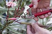 Samenstand von Oleander (Nerium oleander) mit der Schere abschneiden