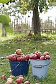 Emaillierte Eimer mit frisch geernteten Äpfeln 'Geflammter Kardinal' (Malus)