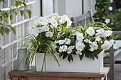 Weisser Kasten mit Begonia 'New Star White' (Knollenbegonien), Impatiens