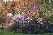 Herbstbeet mit Amelanchier (Felsenbirne), Euonymus (Pfaffenhütchen)