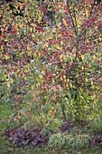 Malus sargentii (Zierapfel), Baumscheibe bepflanzt mit Heuchera