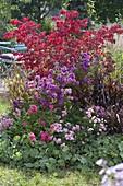 Herbstbeet mit Rosa 'The Fairy' 'Heidetraum' (Bodendeckerrosen), Pennisetum