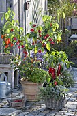 Glockenchili, Paprika und Chili (Capsicum baccatum, C. annuum), Salbei