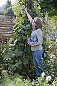 Bohnenzelt aus Stangenbohnen aufstellen
