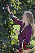 Junge Frau erntet schwarze Stangenbohnen 'Blauhilde' (Phaseolus)