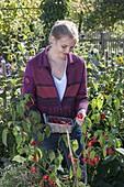 Junge Frau erntet Glockenchili 'Bishop's Crown' (Capsicum baccatum)