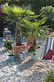 Palmen auf Kiesterrasse : Chamaerops humilis (Zwergpalmen)