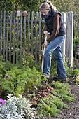 Frau erntet Möhren, Karotten (Daucus carota) im Biogarten mit Grabgabel