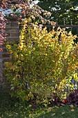 Physocarpus opulifolius 'Dart's Gold' (Goldgelbe Blasenspiere)