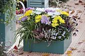 Türkiser Kunststoff-Kasten mit Chrysanthemum - Mix (Herbstchrysantheme)