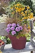 Weinroter Topf mit Pyracantha 'Solei D' Or' (Feuerdorn), Chrysanthemum
