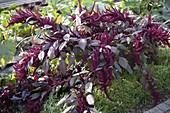 Amaranthus cruentus 'Velvet Curtains' (Garten - Fuchsschwanz)