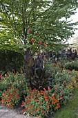 Beet unter Cercidiphyllum japonicum (Kuchenbaum, Katsurabaum)