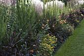 Rabatte mit Sommerblumen und Gräsern : Pennisetum setaceum 'Rubrum'