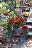 Chrysanthemum 'Balios' 'Rico' (Herbstchrysanthemen), Cyclamen