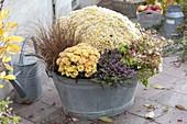 Alte Zinkwanne mit Ajania Bellania 'Bengo weiss' (Silberchrysantheme)