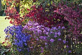 Aster (Herbstastern) vor Euonymus alatus (Korkleistenspindelstrauch)
