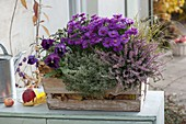 Aster dumosus 'Purple Diamond' (Kissenaster), Calluna Garden Girls