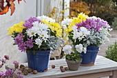Chrysanthemum (Herbstchrysanthemen) drei Farben zusammengepflanzt
