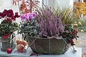 Drahtkorb mit Blättern von Bergenia ausgelegt : Calluna Garden Girls