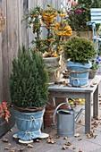 Thuja occidentalis 'Tiny Tim' (Zwerg - Lebensbaum) winterfest verpackt
