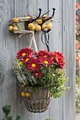 Korb mit Zitronenthymian 'Golden King' (Thymus citriodorus), Chrysanthemum