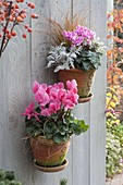 Handgetoepferte Wand - Haengetoepfe mit Cyclamen (Alpenveilchen), Carex