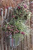 Pernettya (Torfmyrte) und Carex 'Everest' (Japan - Segge) in Blecheimern