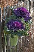 Violetter Brassica (Zierkohl) in Blecheimern an Zaun gehängt