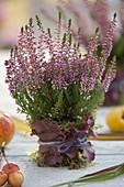 Calluna vulgaris (Knospenbluehende Besenheide) , Topf verkleidet mit Moos