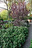 Weg vom Garten zur Terrasse Symphytum (Beinwell) als Bodendecker unter Prunus cistena (Zwerg-Blutpflaume)