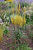Verbascum chaixii 'Sixteen Candles' (Königskerze), Oregano, Dost (Origanum) und Melica ciliata (Wimper-Perlgras) im Prairie-Beet