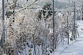 Drahtspalier mit Malus (Apfelbaeumchen) und Rubus (Himbeeren) im Schnee