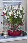 Narcissus Paperwhite 'Ziva' (Tazetten - Narzissen)