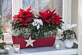 Roter Kasten mit Euphorbia pulcherrima (Weihnachtsternen), Cyclamen