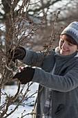Frau schneidet Zweige von Prunus (Kirsche) für die Vase zum antreiben