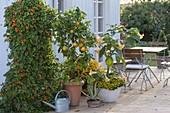 Thunbergia, Citrus sinensis, Datura auf neuem Deck
