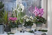 Winterfenster mit Cyclamen (Alpenveilchen), Helleborus niger (Christrose)