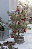 Pinus sylvestris (Kiefer) als lebender Weihnachtsbaum, geschmückt