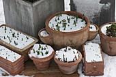 In Terracotta - Gefaessen überwinterte Fruehlingsblueher treiben durch Schnee