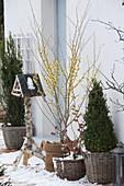 Hamamelis mollis (Zaubernuss) im Winter auf verschneiter Terrasse