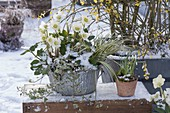 Helleborus niger 'Wintergold' (Christrosen) mit Acorus (Zwerg-Kalmus)