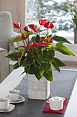 Anthurium andreanum 'Princess Ariana Red' (Flamingoblume)