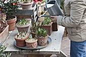 In Toepfen überwinterte Zwiebelblumen regelmässig gießen