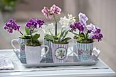 Tassen mit Mini - Orchideen Phalaenopsis 'Little Lady' (Malayenblumen
