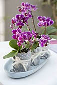 Mini - Orchideen Phalaenopsis 'Little Lady' (Malayenblumen